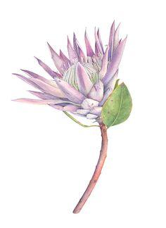 Plant Illustration, Botanical Illustration, Watercolor Illustration, Tattoo Watercolor, Watercolour, Protea Art, Protea Flower, Botanical Flowers, Botanical Art
