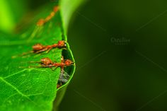 Team Red Ants by Pushish Images on @creativemarket
