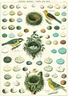 Cavallini & Co Poster Nest, Eggs & Birds 50 x 70 cm | PSikhouvanjou