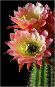 """Trichocereus hybrid """"First Light"""" All the 'Trichos' are excellent container plants for Tucson patios.  Lots of colors are available, and with a minimum of care they will bloom from April until October."""
