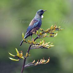 Tui | Tony Smith Photography Birds, Gallery, Nature, Photography, Bedroom, Animals, Naturaleza, Photograph, Roof Rack