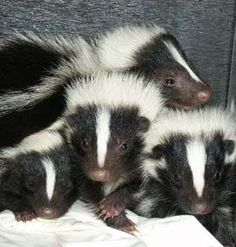 Look at these baby skunks! I find skunks to be pretty cute...too bad they spray....