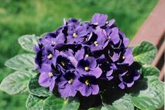 Menekşe Çiçeği Bahar Bakımı Nasıl Yapılır?