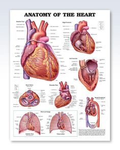 Anatomy of The Heart 20x26 Poster