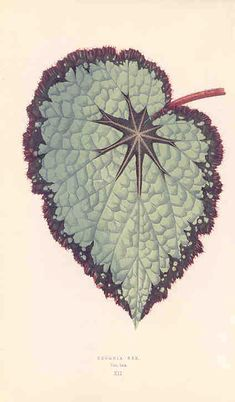 / Assam King Begonia/ painted leaved begonia, from J. Rothschild's 'Les plantes a feuillage coloré' Botanical Drawings, Botanical Illustration, Botanical Prints, Roots Drawing, Nature Drawing, Begonia, Impressions Botaniques, Floral Drawing, Language Of Flowers