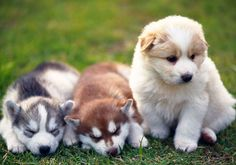 Feeding Schedule for Husky Puppies and Adults