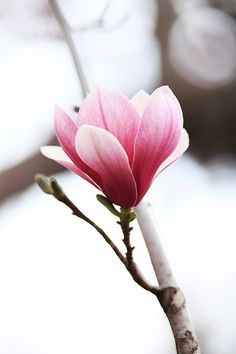 Magnolia | Flickr - Photo Sharing! Such a pretty flowering Spring tree!!!