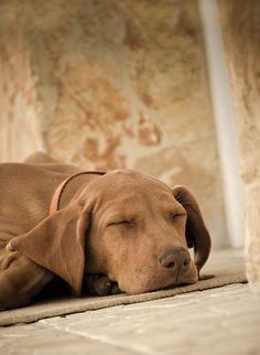 Dog And Puppies Small .Dog And Puppies Small Weimaraner, Vizsla Dog, Vizsla Puppies, Cute Dogs And Puppies, I Love Dogs, Doggies, Modern Dog Toys, Hungarian Dog, Cool Dog Houses