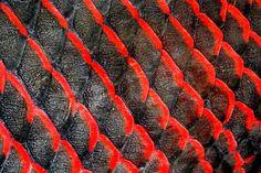 Escamas do peixe pirarucu