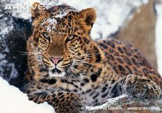 The Amur leopard is one of the most endangered big cats in the world, with only around 20 adults and 5-6 cubs counted in 2007. Although the Amur leopard is legally protected, greater efforts are needed to reduce poaching and educate local people. Find out more about conservation efforts for the Amur leopard at AMUR – Russian Amur Tiger and Leopard Conservation, WWF – Amur leopard and WCS – Amur leopard. See images and videos of the Amur leopard on ARKive.