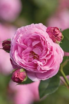 Country Roses give their top recommendations for cut roses to grow in your garden, and to arrange in a vase.