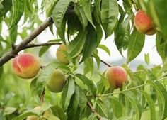 Pfirsichbaum, Pfirsich - Pflanzen, Pflege, Schneiden und Krankheiten