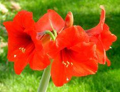 Spring Time Amaryllis