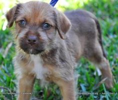 Meet Sandler! Sandler was rescued from a local shelter. He is believed to be a Border Terrier mix. He currently weighs...