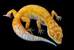 """""""HM"""" Hot Moose Designer Geckos"""