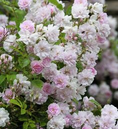 30 best climbing flowers plants images on pinterest in 2018 rose pauls himalayan mightylinksfo