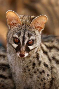 A pretty Genet poses just before sunset in the Namibian desert. Genets are dispersed throughout Africa across a variety of habitats. Rare Animals, Animals And Pets, Funny Animals, Unusual Animals, Wild Animals, Wildlife Photography, Animal Photography, Beautiful Creatures, Animals Beautiful