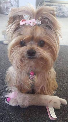 Morkie Puppies, Yorkies, Yorkshire Terrier Puppies, Yorkie Puppy, Cute Dogs And Puppies, Cute Animals Images, Cute Little Animals, Cute Funny Animals, Little Dogs