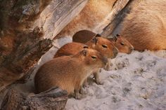 Baby Capybara | What Your Favorite Baby Animal Says About How You Will Die ... There weren't any foals!