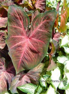 Caladium plant 'Berries N Burgundy' from Classic Caladiums