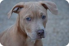 Perry Hall MD - Pit Bull Terrier Mix. Meet Prancer a puppy for adoption.