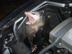 Pest Control, Exterminator - Bradenton, Parrish, Sarasota, FL - Rodent Solutions Inc Integrated Pest Management, Opossum, Rodents, Raccoons, Car Engine, Pest Control, Cringe, Squirrel, Funny Pictures
