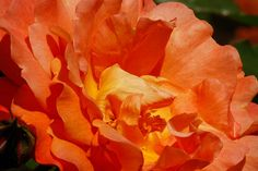 Flame Rose Photograph