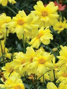 Coreopsis Galaxy | P [d/-/-]