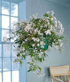 Jasmine Polyanthum: A Wintertime Treasure | White Flower Farm's Blog