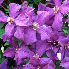 Clematis 'Polish Spirit'. Cut down to 30cm middle Feb