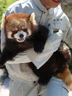 茶臼山 ロンくんのお散歩タイム : レサパン日和 Red Panda Gif, Red Panda Cute, Orange Cats, White Cats, Animals And Pets, Cute Animals, Red Pandas, Warm Fuzzies, Mammals