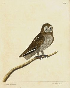 Eleazer Albin - The Little Owl, handcoloured by Elizabeth Albin, 1731-38.