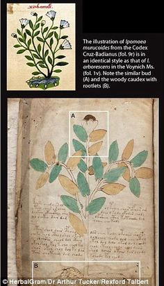 The Voynich manuscript was discovered in an Italian monastery in 1912 Due to its location, historians think the manuscript was written in Europe  It is full of illustrations, diagrams and a mysterious text written left to right Cryptographers have been trying to decipher this text for decades Botanist now claims the plants in the book come from Mexico This illustration in the Voynich manuscript matches a drawing of the Ipomoea Muricoides from the Codex Cruz-Basiarnus