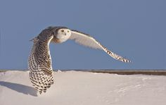 White Wolf: These 10 Incredible Photos of Snowy Owls in Flight Will Stun You.