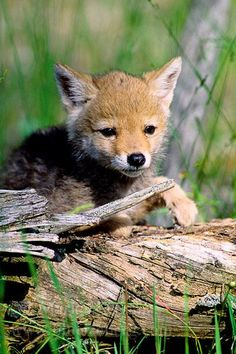 Coyote  ( Canis latrans )  Pup - Montana