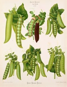 Inch Print (other products available) - Varieties of pea (Pisum sativum) - second. Chromolithograph, by G. Severeyns, of Brussels, from Ernst Benary, Album Benary. Date: - Image supplied by Mary Evans Prints Online - Inch Photograph printed in the UK Vintage Botanical Prints, Botanical Drawings, Botanical Art, Vintage Prints, Antique Prints, Fruit Sketch, Illustration Botanique, Vegetable Illustration, Fine Art Prints