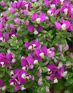 Polygala fruticosa 'Petite Butterfly' - NEVER stops blooming. Almost zero maintenance. Sun and part shade. Roundy mounds shape with no pruning. Bushes And Shrubs, Garden Shrubs, Garden Plants, Full Sun Garden, Green Garden, Backyard Plants, Landscaping Plants, All Plants, Types Of Plants