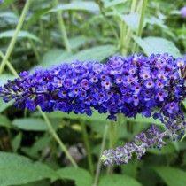 Sommerfuglebusk Buddleia Davidii Empire Blue Sommerfuglebusk Planter Blomster