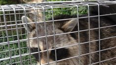 Raccoon Trapping Services in Rhode Island - RI Raccoon Control