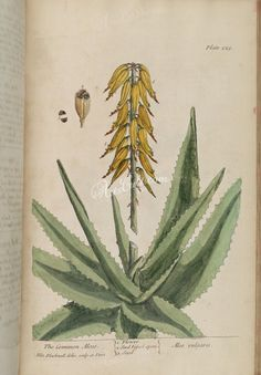 1737 - A curious herbal containing 500 cuts, of the most useful plants, which are now used in the practice of physick - by Elizabeth Blackwell Elizabeth Blackwell, Botanical Illustration, Aloe, Herbalism, Copper, Product Description, Drawings, Plants, Vintage