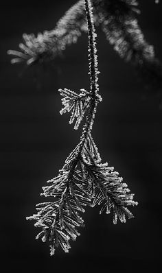Frosted Pine Branch