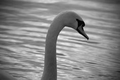 Sad Swan by Neena Dhamoon, via 500px