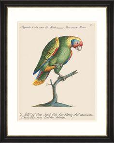 size: Giclee Print: Variegated Parrot from Brazil (Psittacus Variegatus Brasiliensis) : Natural History, Gradient Color, Custom Framing, Printing Process, Find Art, Framed Artwork, Giclee Print, Brazil, Ink