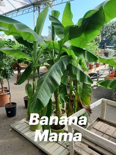 Growing Bananas in Your garden? Try the Algarve way of life with organic bananas! Landscape Solutions, Garden Solutions, Algarve, Garden Plants, Indoor Plants, Trees To Plant, Plant Leaves, Air Cleaning Plants, Planting Plan