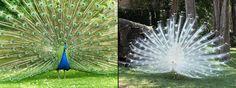 Peacocks.
