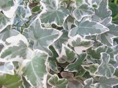 How to grow English ivy, including tips on propagation, temperature and keeping a healthy, green plant.