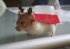 Super reindeer! http://wuvely.com/small-pets/super-reindeer/