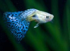 Аквариумные рыбки: Фото гуппи - одной из самых красивых рыб аквариумных рыб (13 фото)
