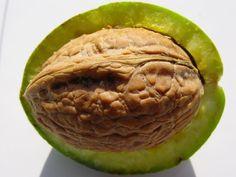 Vlašské ořechy, tedy plody Ořešáku královského, jsou výborné a velmi zdravé oříšky, které mají nezastupitelné místo v české kuc