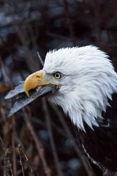 BALD EAGLE GULP mother nature moments